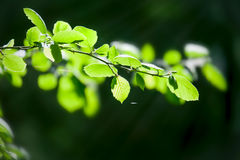 Birch young leaves under sun beams Royalty Free Stock Photography