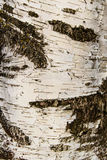 Birchbark纹理背景 图库摄影