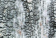 Birchbark纹理 库存图片