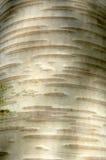 Birchbark Stock Images