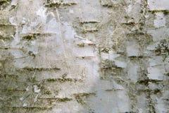 Birchbark Royaltyfri Fotografi