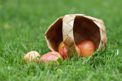 Birchbark basket full of gala apples Stock Photos