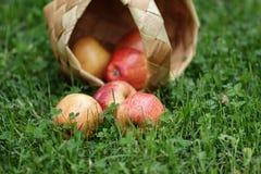 Birchbark basket full of gala apples Stock Images