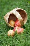 Birchbark basket full of gala apples Royalty Free Stock Images
