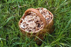 Birchbark basket full of mushrooms Royalty Free Stock Photography