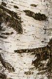 Birchbark texturbakgrund Arkivbild
