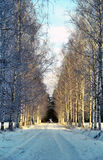 Birche alley in winter park Stock Image