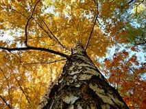 Birche del otoño - una visión de debajo Fotos de archivo