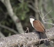 Burchells Coucal. Perched on branch in woodland Stock Image
