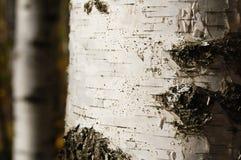 birchen κορμός Στοκ Φωτογραφία