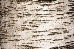 Birchen boomstam Stock Foto