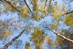 birchen skog Arkivfoto