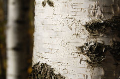 Birchen trunk Stock Photography