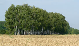 Birches. A simple image of a group of birches Royalty Free Stock Photography