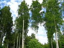 Birches. Nature. Russian birches with the sky on the background Royalty Free Stock Image