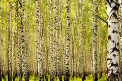 Birches. Royalty Free Stock Photos
