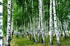 Birches Stock Photos