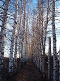 Birches. And a small road between royalty free stock photography