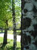 Birches Stock Photo