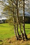 Birches Stock Images
