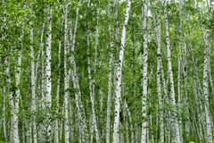 Free Birches Stock Images - 33735654