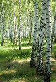 Birches Royalty Free Stock Images