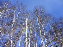 Birches. Branches on the blue sky background Stock Photos