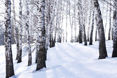 Birches Stock Photos
