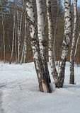 Birches. Royalty Free Stock Images