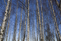 Birches. Picture of birches in winter Royalty Free Stock Photo