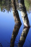 Birches. Two birches in a lake in the summer Royalty Free Stock Photography