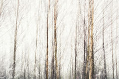 Birches abstract Royalty Free Stock Photo