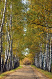 Birches alley in early fall. Tree leaves turning yellow Royalty Free Stock Image