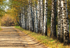 Birches alley in early fall. Tree leaves turning yellow Royalty Free Stock Images