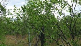 Birches along the roadside. Sakhalin island. stock footage