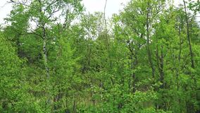 Birches along the roadside. Sakhalin island. stock video