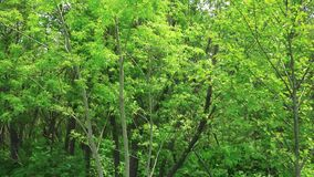 Birches along the roadside. Sakhalin island. stock video footage
