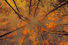 Birches, autumn day (in yellow tone) Royalty Free Stock Photos