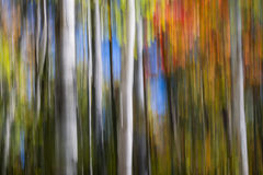 Birches in autumn forest Royalty Free Stock Photo