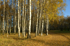 Birches in autumn park. Royalty Free Stock Images