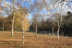 Birches. On the bank in the Regent`s Park Stock Photography