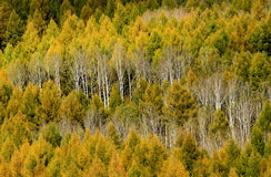 Birches. Beautiful birches in autumn ,china Stock Images