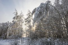 Birches bent under the weight of snow stock photo