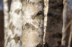 Birches (betula) trunks. Trunks of birches in daylight. Can be used as a separate illustration or as natures background Royalty Free Stock Images