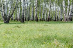 Birches. Birch wood. It is a lot of birches. Royalty Free Stock Photo
