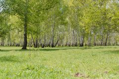 Birches. Birch wood. It is a lot of birches. Royalty Free Stock Photography