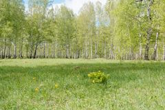 Birches. Birch wood. It is a lot of birches. Stock Photography