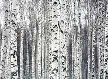 Free Birches Black And White Stock Photography - 48965742