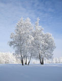 Birches on blue. Two young birches in the middle of the white-blue snow sea Stock Photo