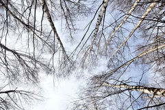 Birches and blue sky Stock Image